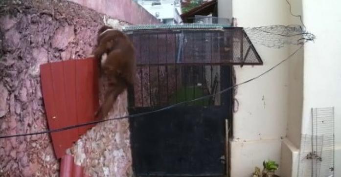 Acest om nu mai ştie ce să facă că să îşi ţină câinele în curte. A montat o cameră de filmat să le arate tuturor cât de mult se chinuie. Câinele găseşte de fiecare dată o cale de ieşire!