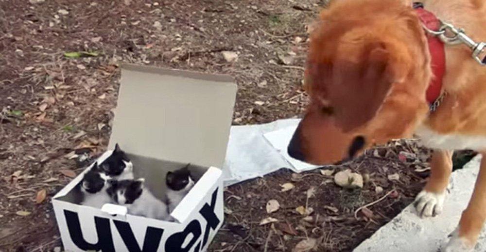 Câinele a găsit o cutie cu pisicuţe aruncate pe stradă în timp ce se plimba şi nu a durat mult până când a devenit cel mai bun tată adoptiv.