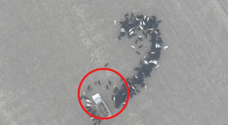 În timp ce fermierul conducea camionul, văcuţele îl urmăreau. Totul pentru a-i transmite un mesaj extrem de important soţiei.