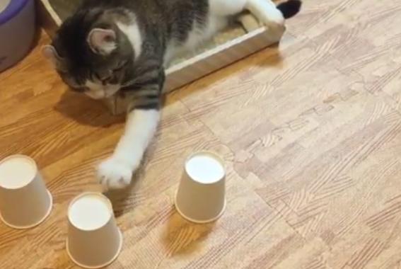 Stăpânul ei se chinuie să ascundă mingea sub pahare, dar pisica îşi dă seama de fiecare dată unde a ascuns-o. Este uimitor!