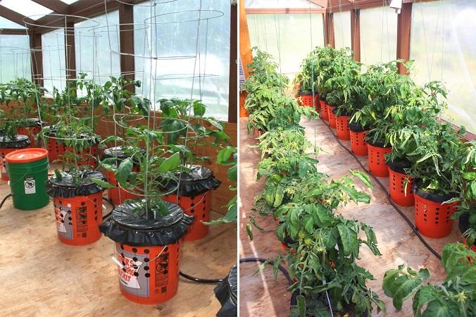 Cum se pot creşte roşii în găleţi de plastic. Un sistem ingenios care poate crea o grădină artificială!